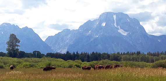 Bison roaming in front of the Grand Tetons