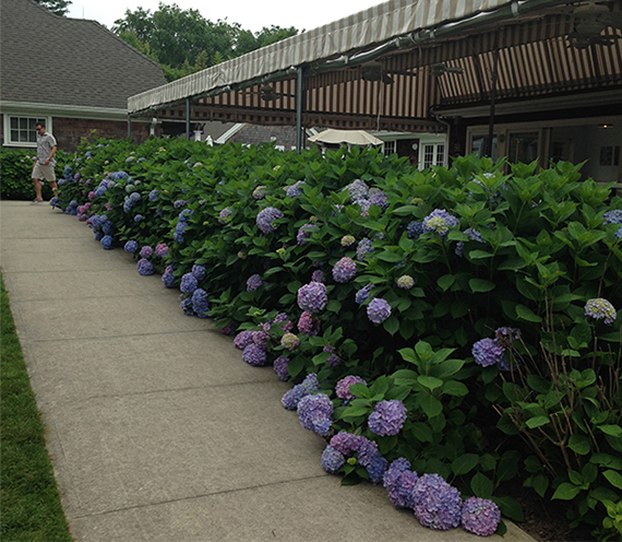 Blue and purple hydrangeas line the camp's grounds