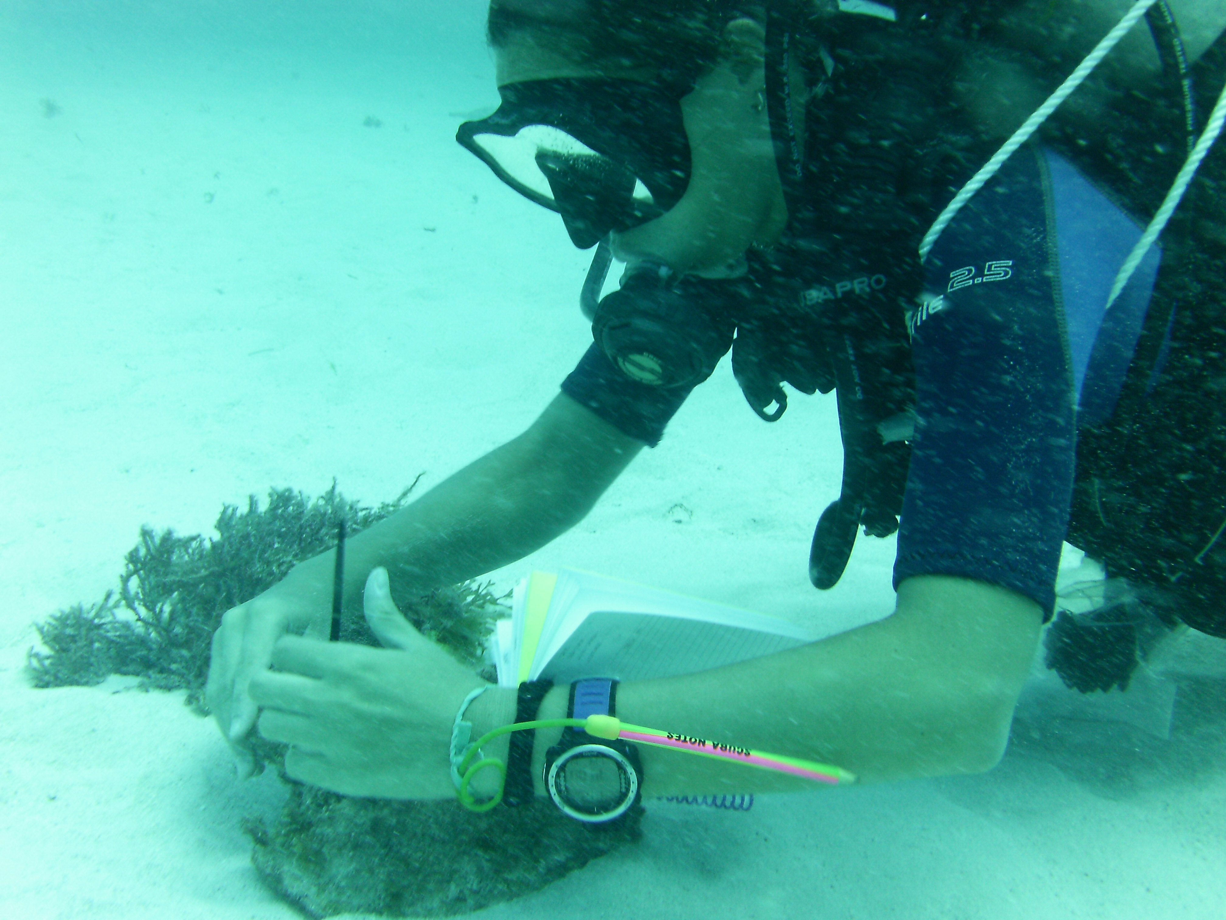 Alba taking conch measurements in the Caribbean.